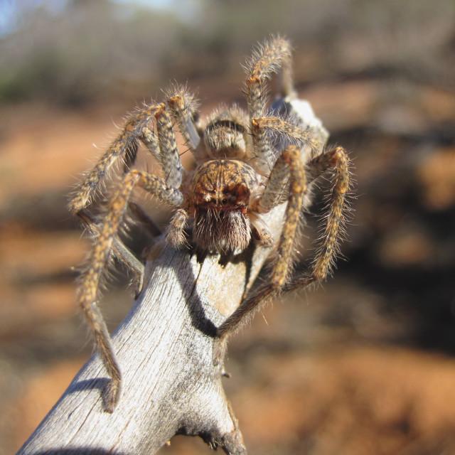 """Spider, Australia"" stock image"