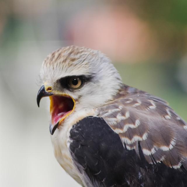 """Screaming Eagle"" stock image"