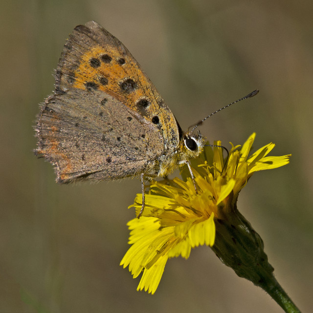 """Small Copper(Lycaena agestis) (IV)"" stock image"