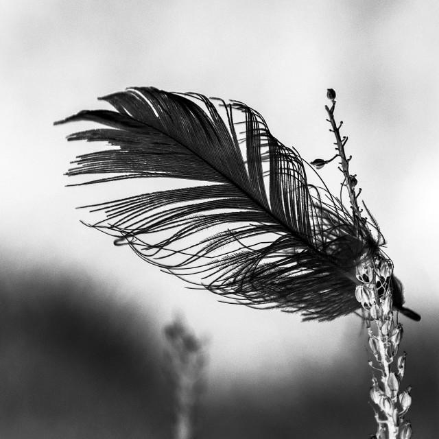"""Black feather"" stock image"