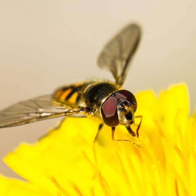 """Focus on the Eyes (Macro Shot) Bee"" stock image"