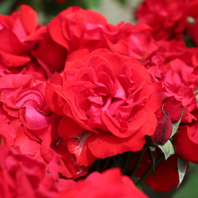 """red roses garden"" stock image"