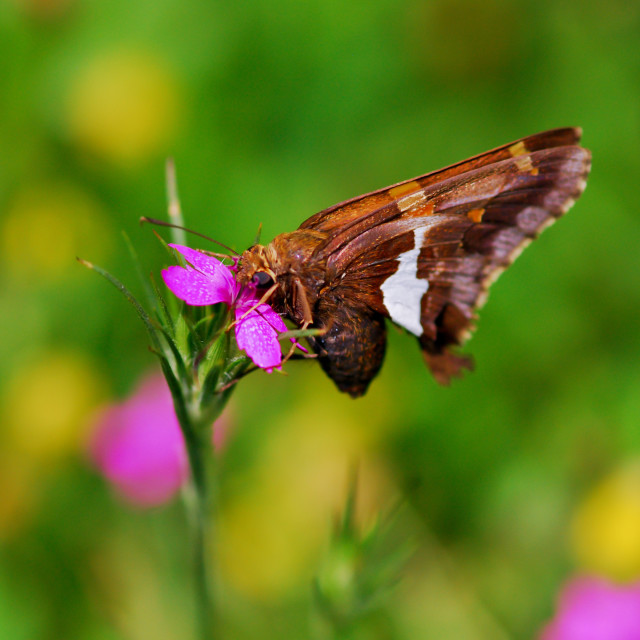"""Silver Spotted Skipper Butterfly"" stock image"