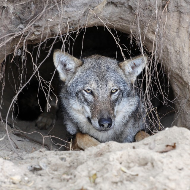 """Wolf in a burrow"" stock image"