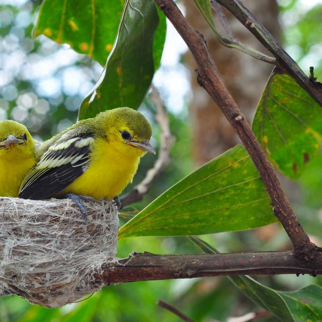 """""""Feeding time (Common Iora - Aegithina tiphia)"""" stock image"""