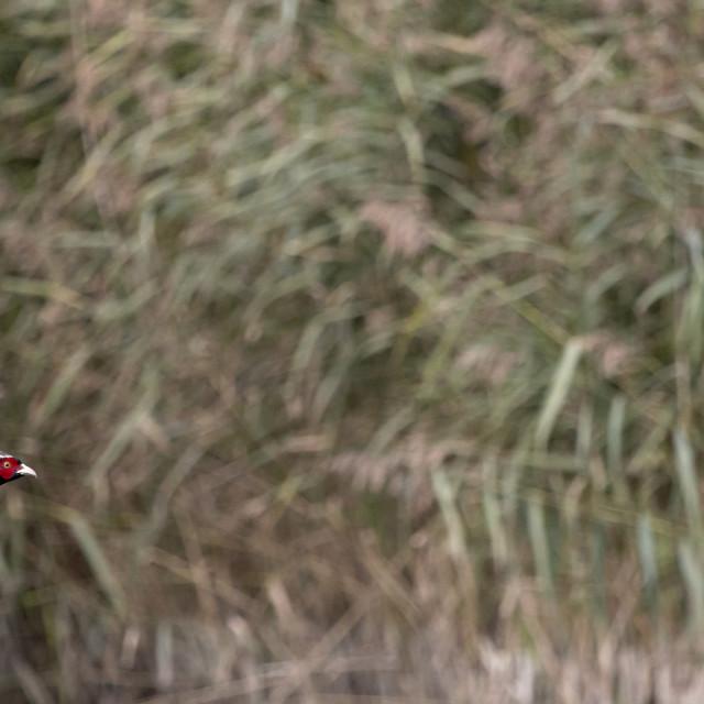 """Pheasant 3."" stock image"