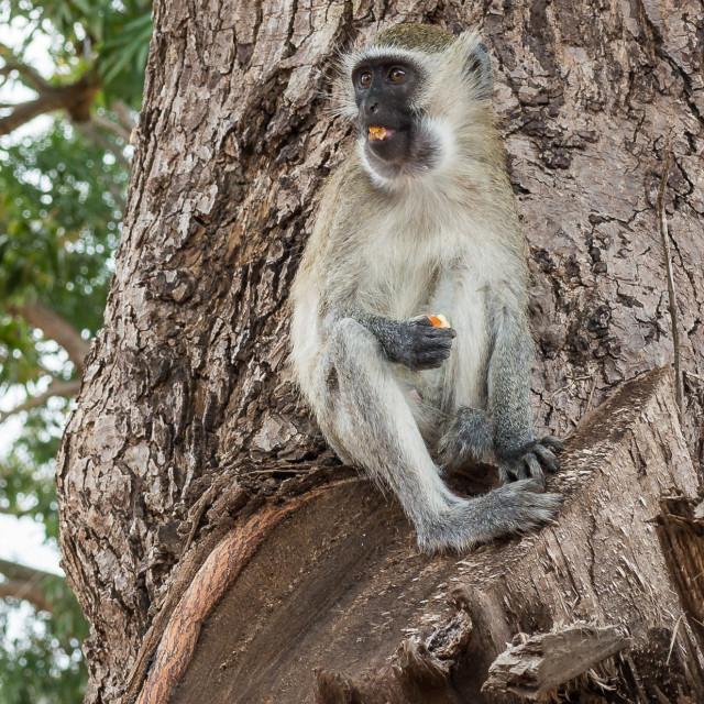 """Vervet Monkey 01"" stock image"
