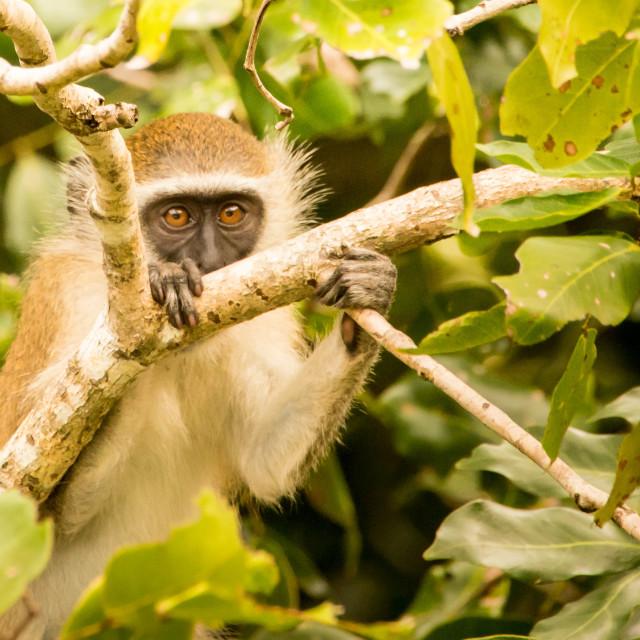 """Vervet Monkey 03"" stock image"