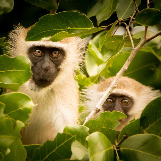 """""""Vervet Monkeys 07"""" stock image"""