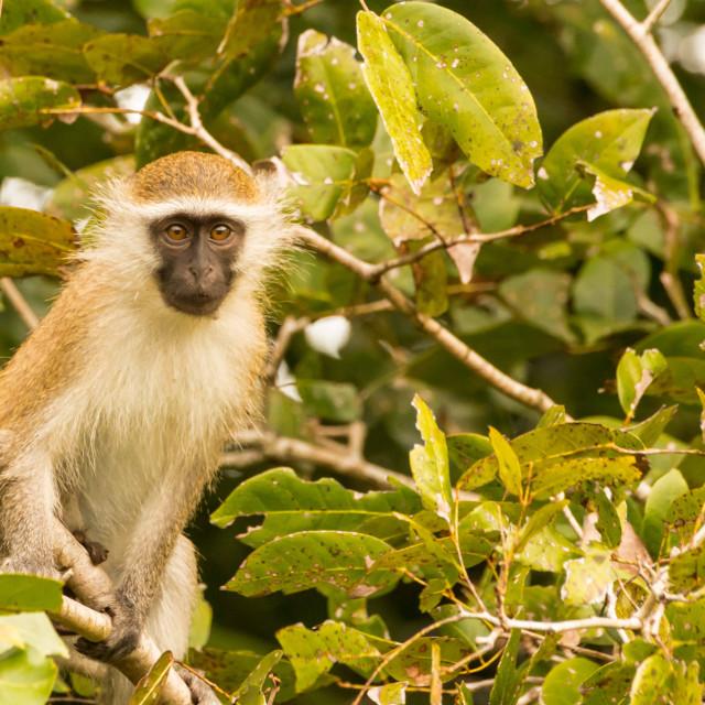 """Vervet Monkey 08"" stock image"