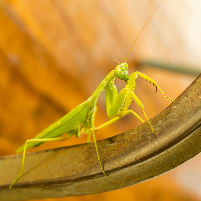 """Praying Mantis (male)"" stock image"
