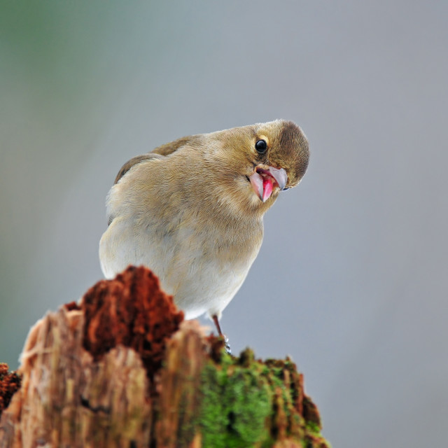 """Common chaffinch"" stock image"