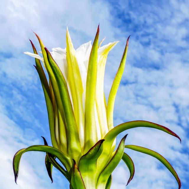 """Dragon Fruit Plant"" stock image"