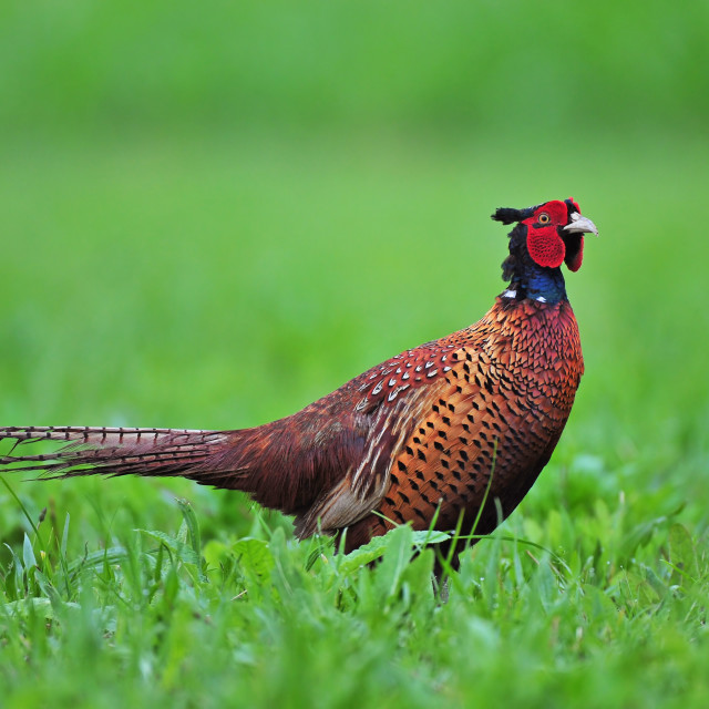 """Common pheasant"" stock image"