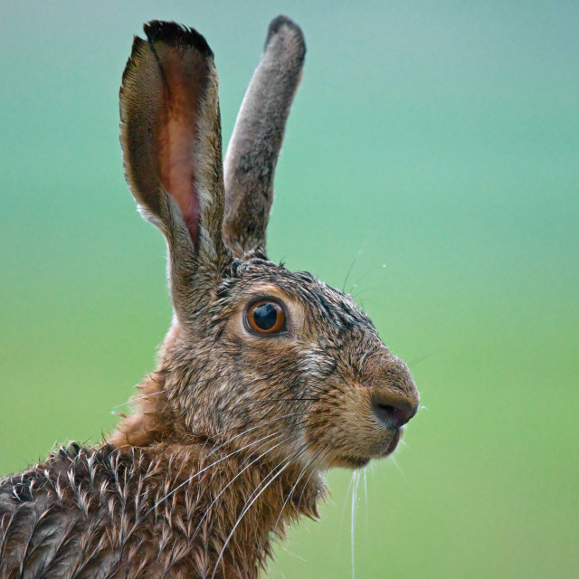 """Brown hare"" stock image"