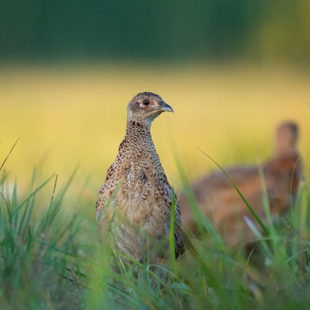 """Female pheasant"" stock image"