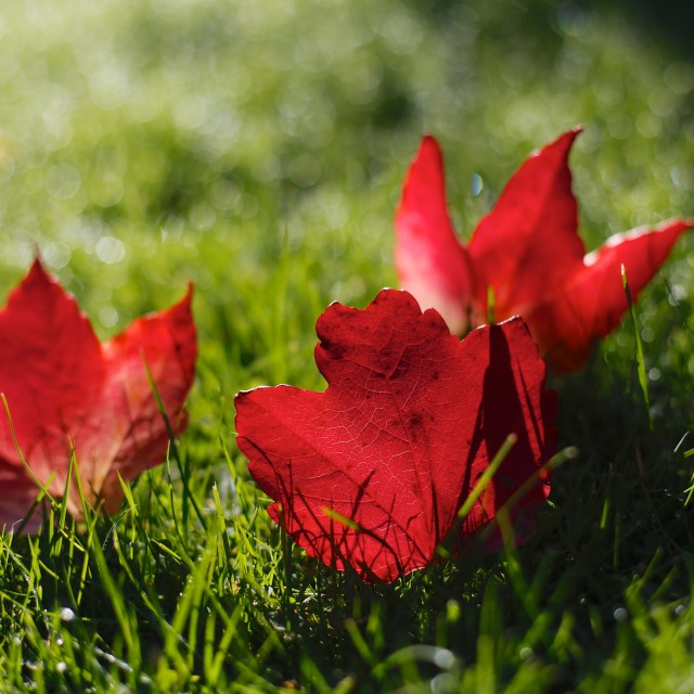 """Beautiful Red Autumn / Fall Leaves"" stock image"