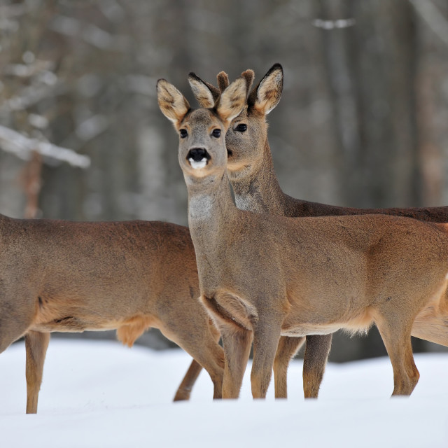 """Roe deer in winter"" stock image"
