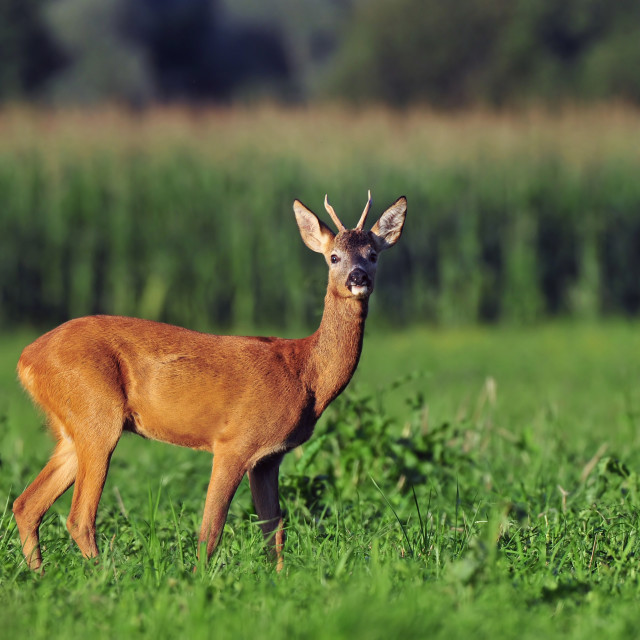 """Roe deer"" stock image"