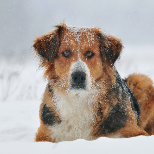 """Dog lying in the snow"" stock image"