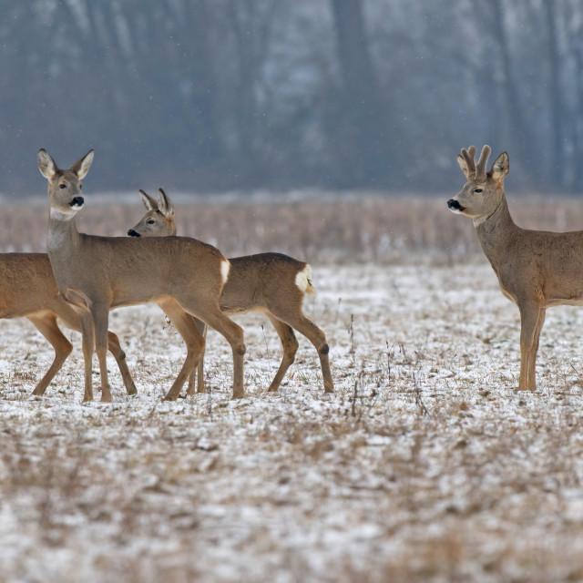 """Roe deer herd"" stock image"