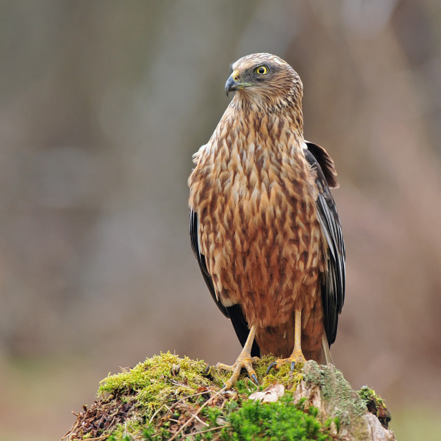 """Western marsh harrier"" stock image"