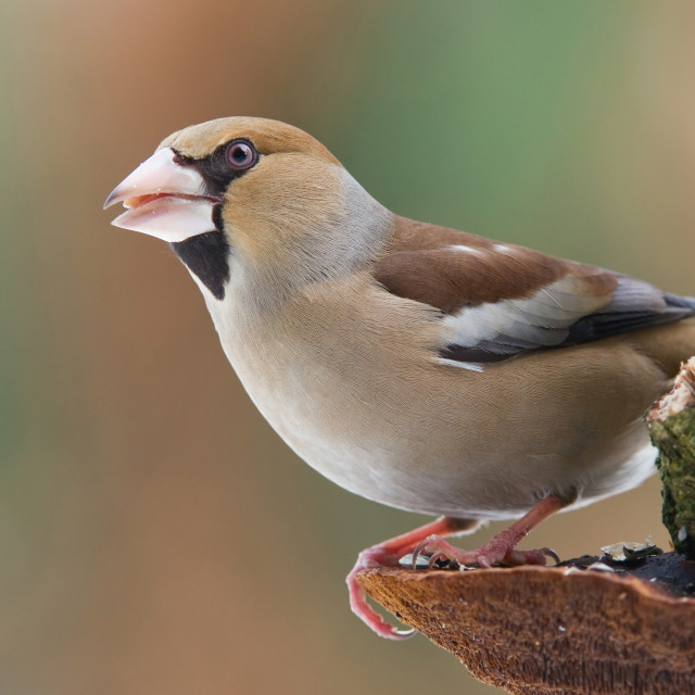 """Hawfinch"" stock image"