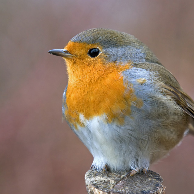 """Europen robin"" stock image"