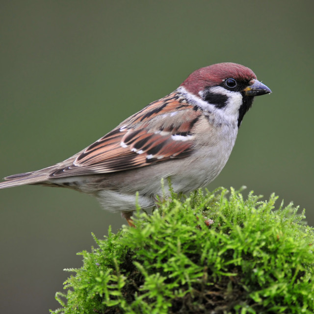 """Tree sparrow"" stock image"
