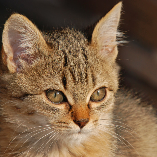 """Young domestic cat"" stock image"