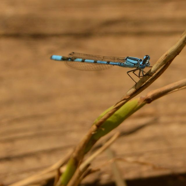 """Blue damsel fly"" stock image"