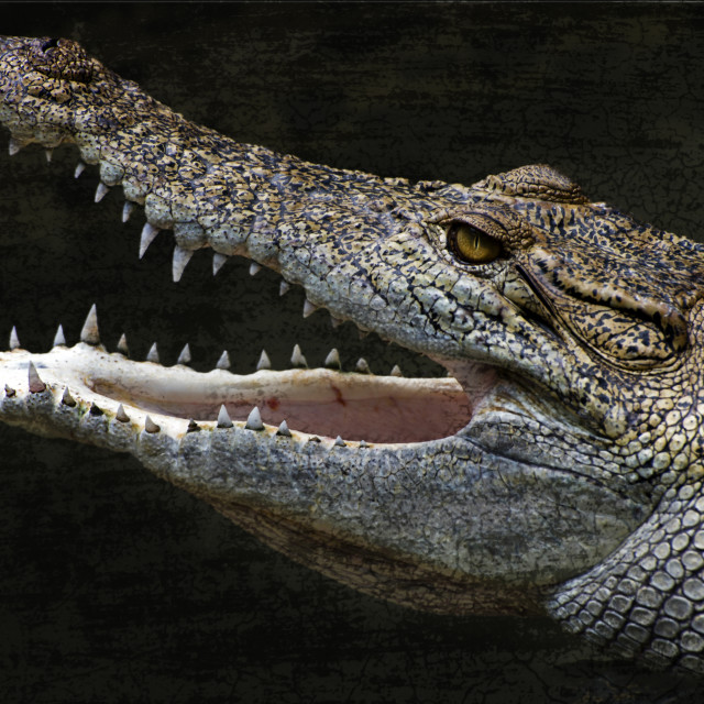 """Crocodile"" stock image"