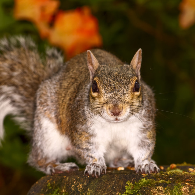 """""""Squirrel on a tree stump"""" stock image"""