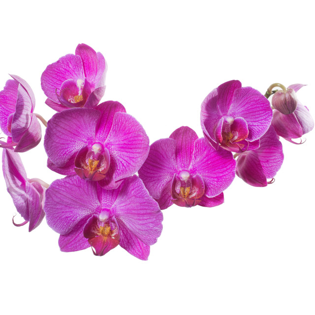 """group of small orchids phalaenopsis pink isolated"" stock image"
