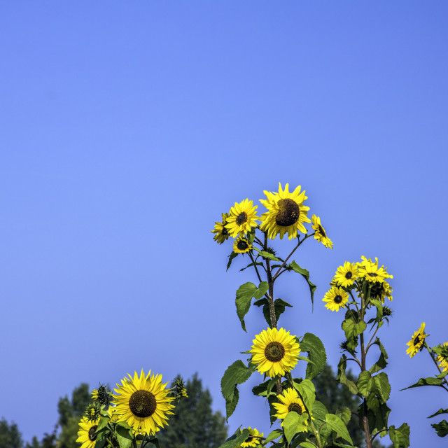 """The Sunflower Family"" stock image"