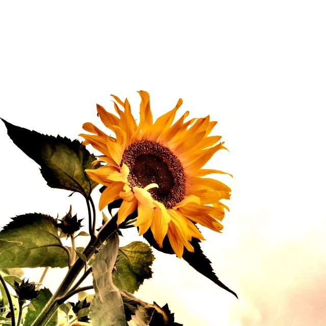 """Sunflower with clear background"" stock image"