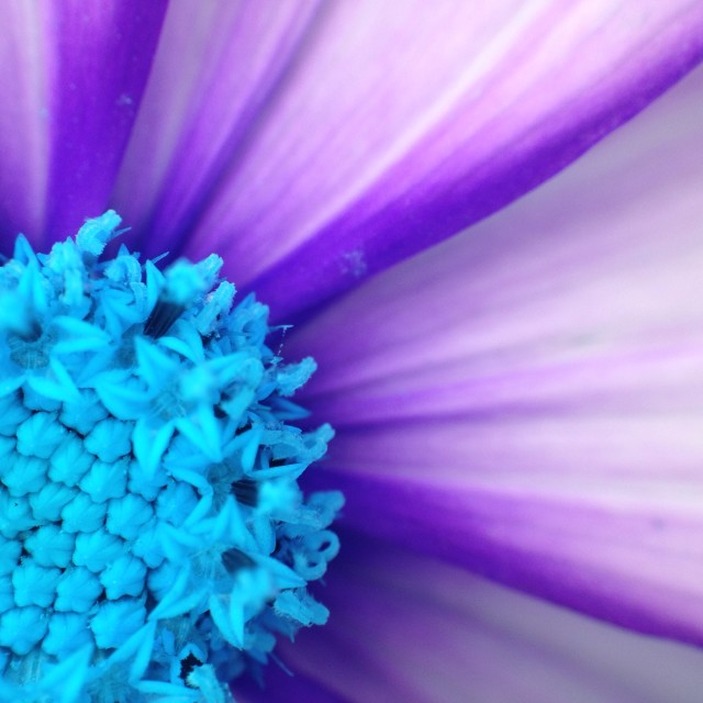 """Colour change on a cosmos flower"" stock image"