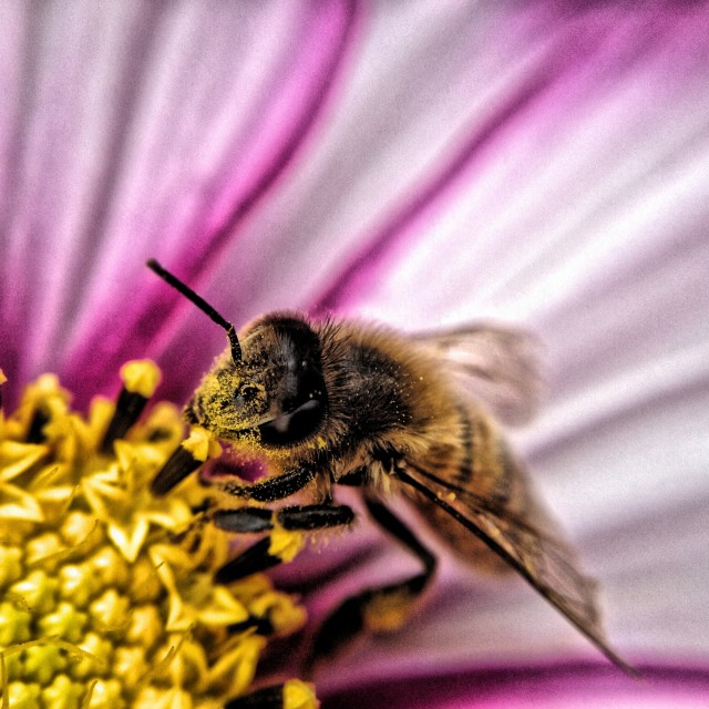 """""""Bee on cosmos flower"""" stock image"""