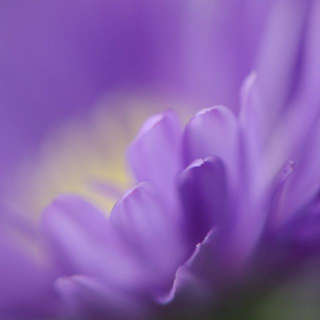 """Michaelmas daisy petals"" stock image"