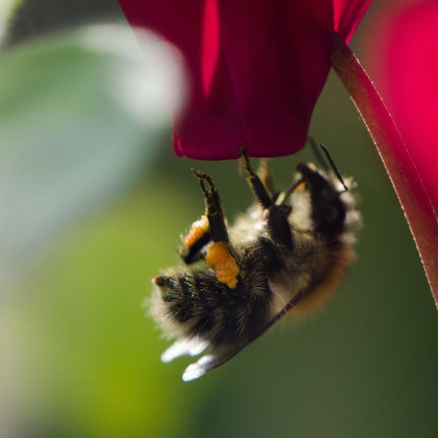 """""""Pollen-laden bee"""" stock image"""