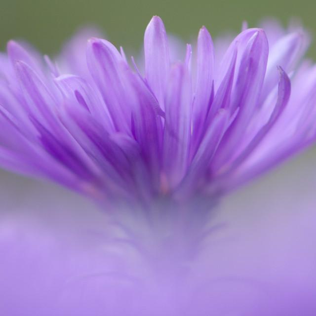 """""""Michaelmas daisy"""" stock image"""