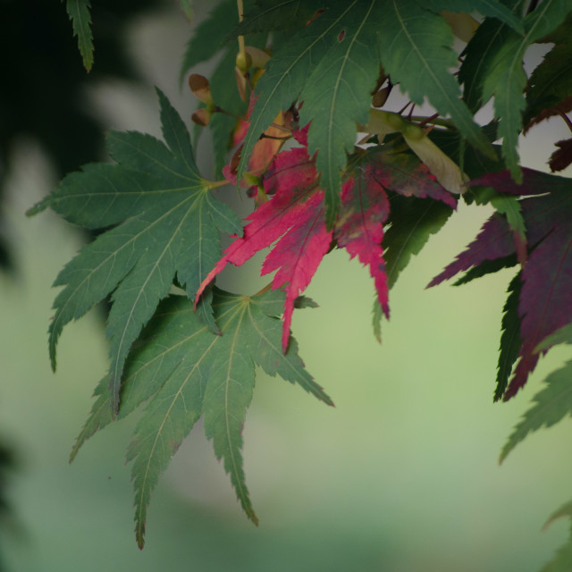 """Japanese Maple leaves"" stock image"
