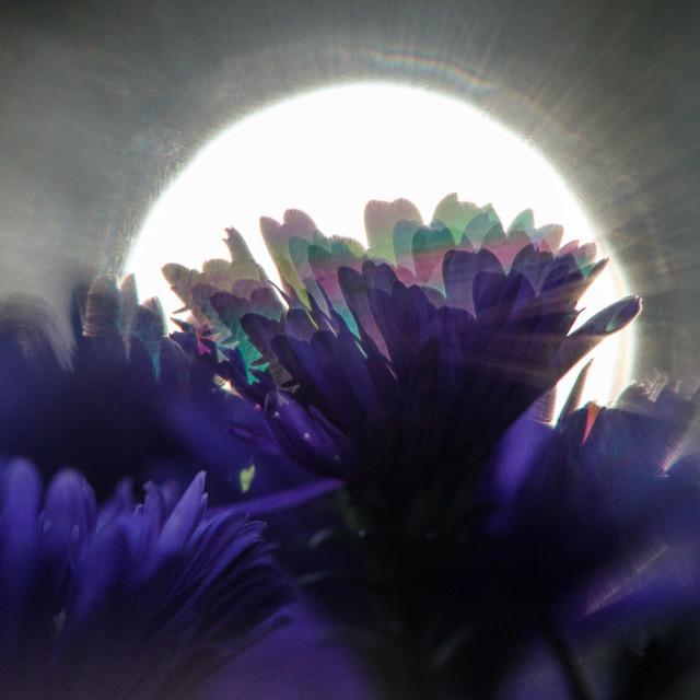 """""""Michaelmas daisies"""" stock image"""