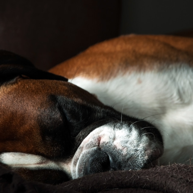 """Sleeping boxer dog"" stock image"