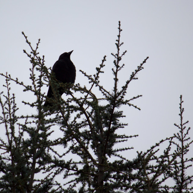"""Crow on a treetop against white"" stock image"