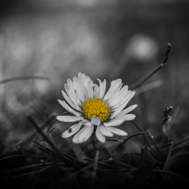 """Daisy in Black and White"" stock image"