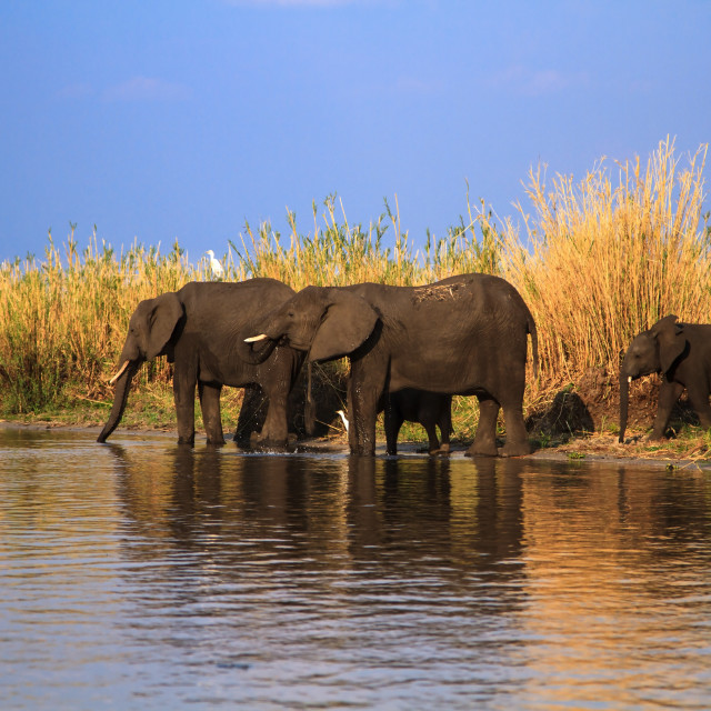 """Elephants at the Riverside"" stock image"
