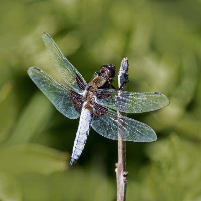 """Wide Bodied Four Spot Chaser (Libellula quadrimaculata)"" stock image"