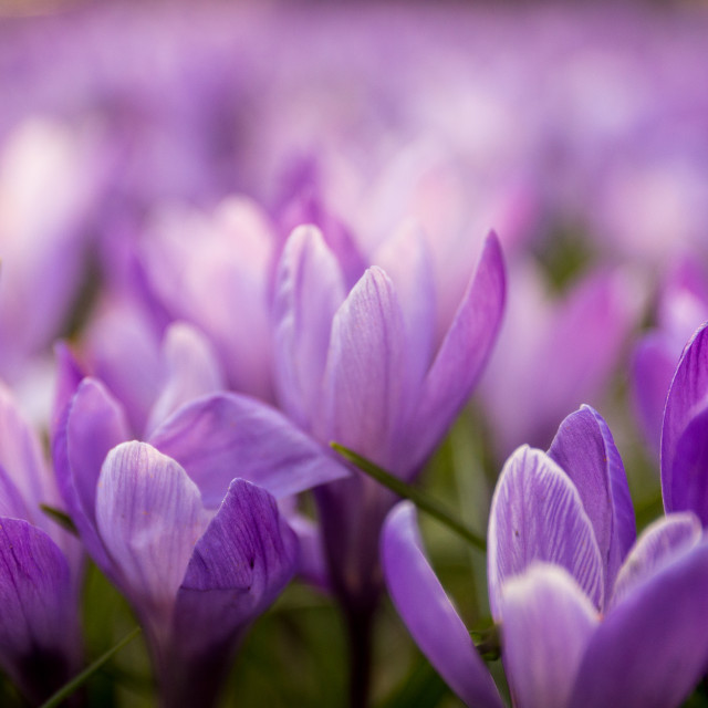 """Crocus Flowers"" stock image"