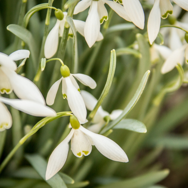 """Common Snowdrop Flowers"" stock image"